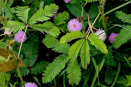 Cây cỏ trinh nữ trong thiên nhiên có công dụng trị nhức mỏi tê bì chân tay vô cùng hiệu quả